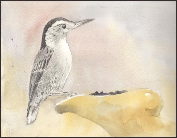 Rex Beanland, Nuthatch, pencil & watercolour, 8 X 11